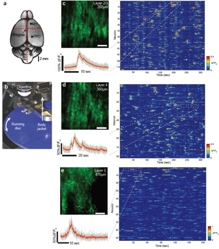 Figure 2: High-speed single plane Ca2+-imaging in mouse posterior parietal cortex at 158fps using s-TeFo.